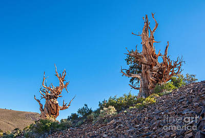Oldest Living Tree Photograph - The Sentinels - Ancient Bristlecone Pine Forest. by Jamie Pham