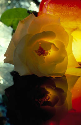 Photograph - The Shadow Of A Rose by Etti PALITZ