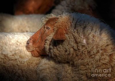 Photograph - The Sheep by Kathy Baccari