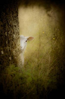 The Shy Lamb Art Print by Loriental Photography