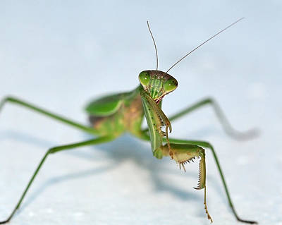 Photograph - The Shy Mantis by Lara Ellis