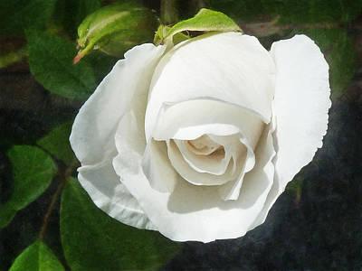 The Shy Rose Bud Art Print by Steve Taylor