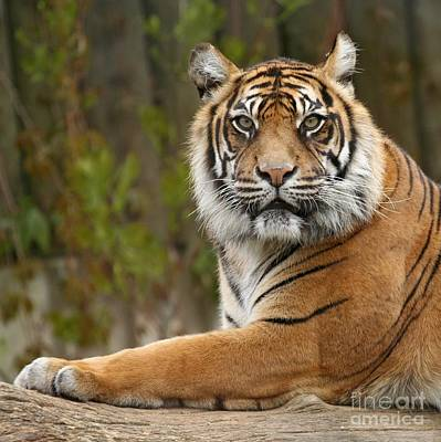The Siberian Tiger Animal Art Print by Boon Mee