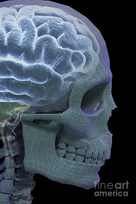 The Skull And Brain Art Print