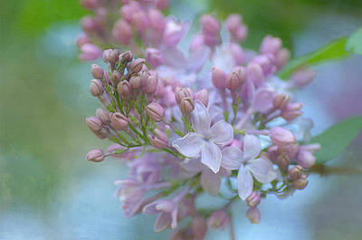 Photograph - The Softness Of Lilac 3 by Fraida Gutovich