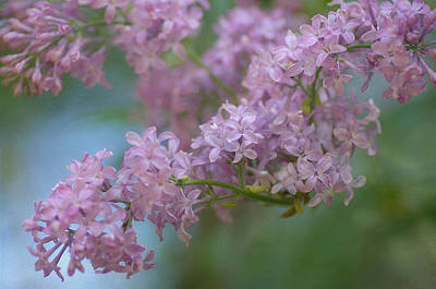 Photograph - The Softness Of Lilac 4 by Fraida Gutovich