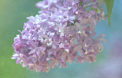 Photograph - The Softness Of Lilac by Fraida Gutovich