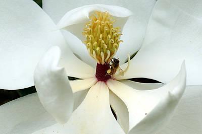 The Southern Magnolia Art Print by Kim Pate