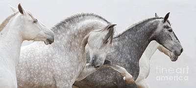 Grey Horse Photograph - The Spanish Stallion And His Mares by Carol Walker