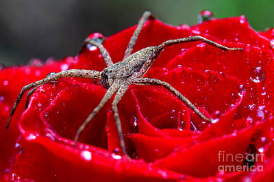 Photograph - The Spider And The Rose by Michael Eingle