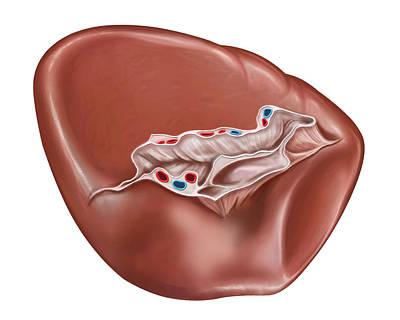 Caudal Photograph - The Spleen by Asklepios Medical Atlas
