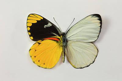 The Splendid Butterfly, Delias Art Print by Darrell Gulin