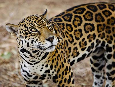 Photograph - The Spots Of A Jaguar  by Saija  Lehtonen