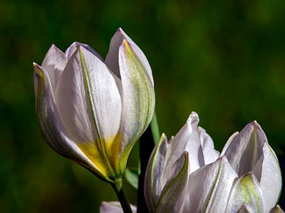 Photograph - The Spring Crocus by Tomasz Dziubinski