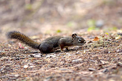 Photograph - The Squirrel And The Seedling by Sharon Talson