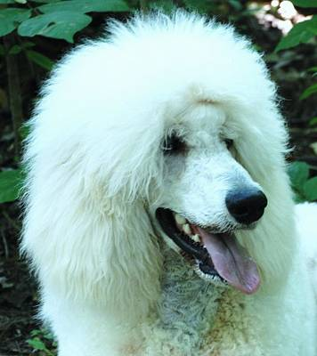 Photograph - Poodle Bear by Lisa  DiFruscio
