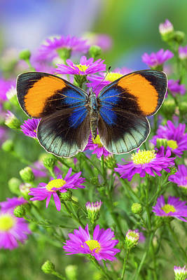 Pink Sapphire Photograph - The Star Sapphire Butterfly, Callithea by Darrell Gulin