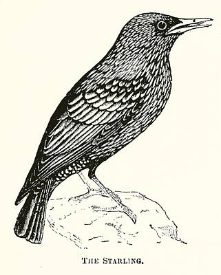 Starlings Wall Art - Drawing - The Starling by English School