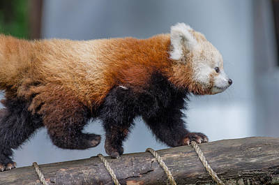Photograph - The Strolling Red Panda Cub by Greg Nyquist