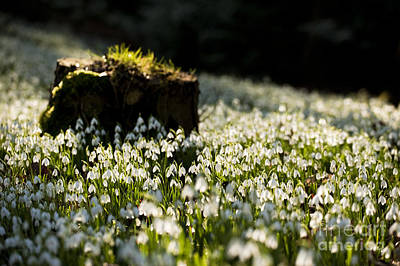 The Stump And The Snowdrops Art Print by Anne Gilbert