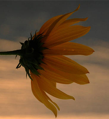 Photograph - The Sunflower At Sunrise by Leticia Latocki