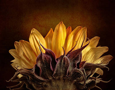 Photograph - The Sunflower by David and Carol Kelly