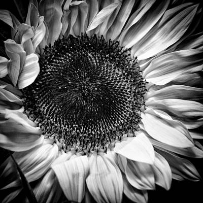 Sunflowers Royalty-Free and Rights-Managed Images - The Sunflower II by David Patterson