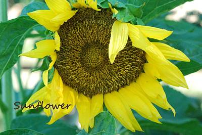 Photograph - Sunflower Garden by Lisa  DiFruscio