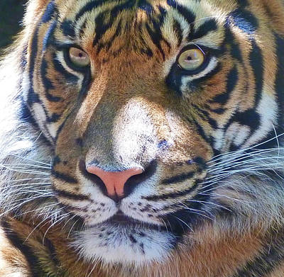Photograph - The Superb Sumatran Tiger by Margaret Saheed