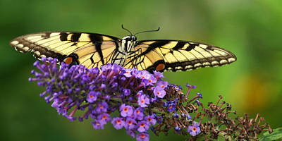 Photograph - The Swallowtail Reigns Supreme by Leda Robertson