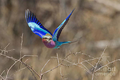 Lilac Roller Photograph - The Takeoff by Ashley Vincent