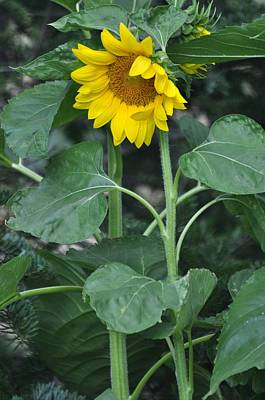 Photograph - The Tallest Sunflower by Lisa  DiFruscio