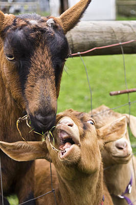 Goat Photograph - The Theft by Priya Ghose