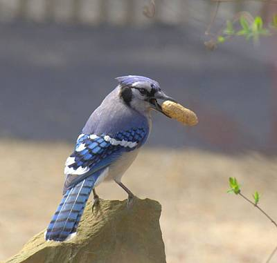 Bluejay Digital Art - The Thief by Kerry Hauser