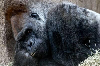 Photograph - The Thinking Gorilla by Ricardo J Ruiz de Porras