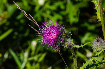 Photograph - The Thistle And The Bee by Tikvah's Hope