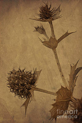 Ornamental Photograph - The Thistle by Heiko Koehrer-Wagner