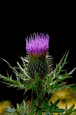 Photograph - The Thistle by Jemmy Archer