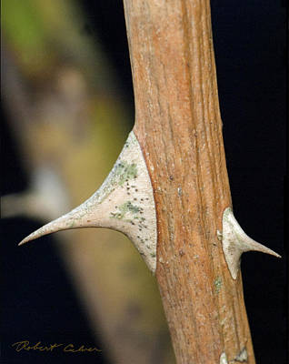 Photograph - The Thorn by Robert Culver