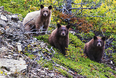 Sitting Bear Photograph - The Three Amigos by Mark Kiver