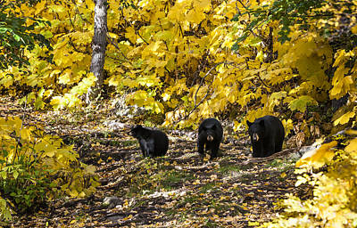 Photograph - The Three Bears by Ted Raynor