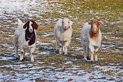 Photograph - The Three Goats by Mary Carol Story