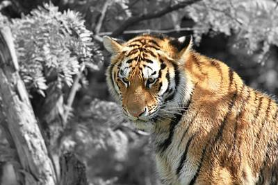 The Tiger Hunt Photograph - The Tiger by Dan Sproul