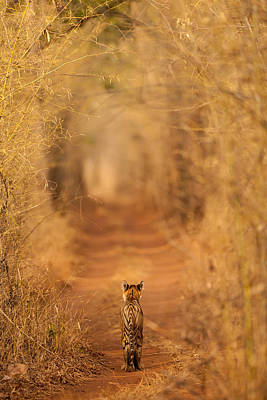 The Tiger In  The Tunnel Art Print