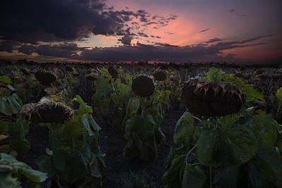 Sunflowers Royalty-Free and Rights-Managed Images - The Time Has Come by Aaron J Groen