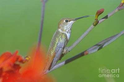 The Tongue Of A Humming Bird  Art Print by Jeff Swan