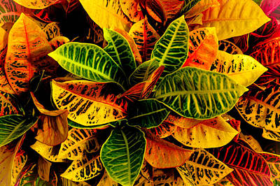Photograph - The Tropical Croton by Lisa Cortez