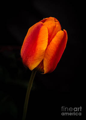 Photograph - The Tulip by Robert Bales