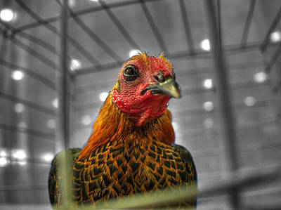 Chicken Photograph - The Tulsa State Fair 2014  P6 by John Straton