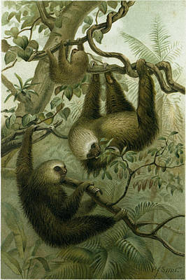 Sloth Drawing - The Two-toed Sloth by English School